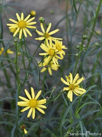 Seneçon sud-africain, Senecio inaequidens, Grange, fleurs sauvages jaunes, Bouresse, Biodiversité du Sud Vienne 86 (2)