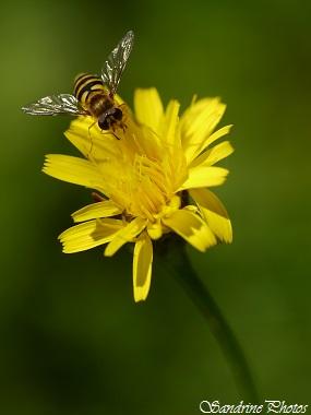 Syrphe du groseiller, Syrphus ribesii, diptères, Syrphidae, insectes du Poitou-Charentes, (1)