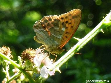 Tabac d`Espagne, Argynnis paphia, Nymphalidae, Papillon de jour, Butterflies, Brandérion Morbihan Bretagne, Brittany, Sandrine Photos