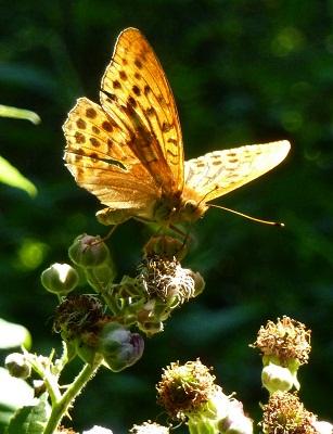 Tabac d`Espagne, Argynnis paphia, Nymphalidae, Papillon de jour, Butterflies, Brandérion Morbihan Bretagne, Brittany