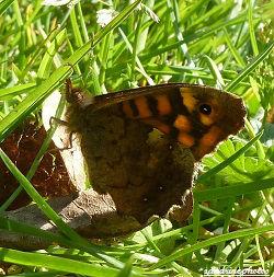 Tircis Pararge Aegeria Papillon