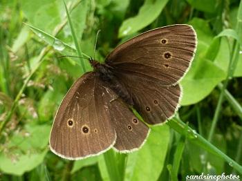 Aphantopus hyperantus LeTristan papillon de jour juillet 2012 Gîte Kerangueven Finistère