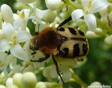 trichius rosaceus La Trichie commune Insecte du Poitou-Charentes Bouresse (1)