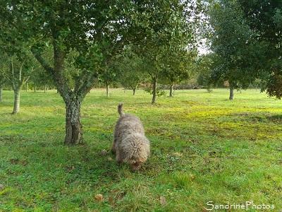 Truffe noire du Poitou, Tuber melanosporum, Ascomycètes, Cavage des truffes avec chien, Vienne 86 (2)