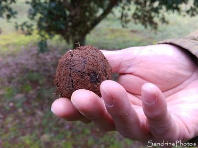 Truffe noire du Poitou, Tuber melanosporum, Ascomycètes, Cavage des truffes avec chien, Vienne 86 (4)
