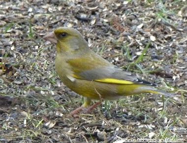 verdier oiseau de nos jardins, faune sauvage
