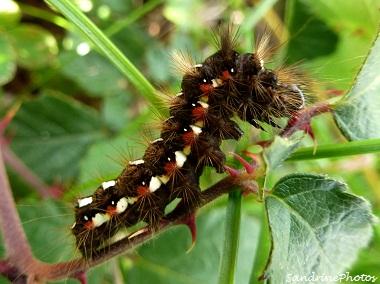 Viminia rumicis, cendrée noirâtre, chenille de papillon de nuit, Moth caterpillar, Bouresse-Poitou-Charentes, 27 octobre 2012